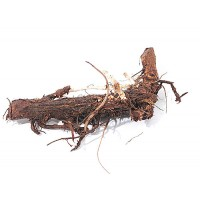 Hop Rhizomes Willamette
