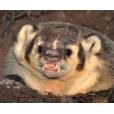 Honey Badger Wheat