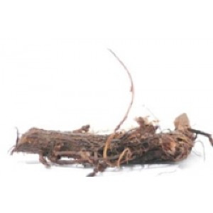 Hop Rhizomes Willamette 100 MEGA PACK